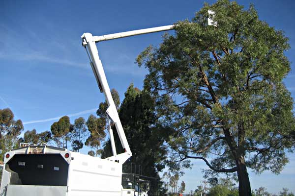 Tree Maintenance Tree Surgeons Tree Trimming Specialty Tree Surgeons Jacksonville Fl Florida